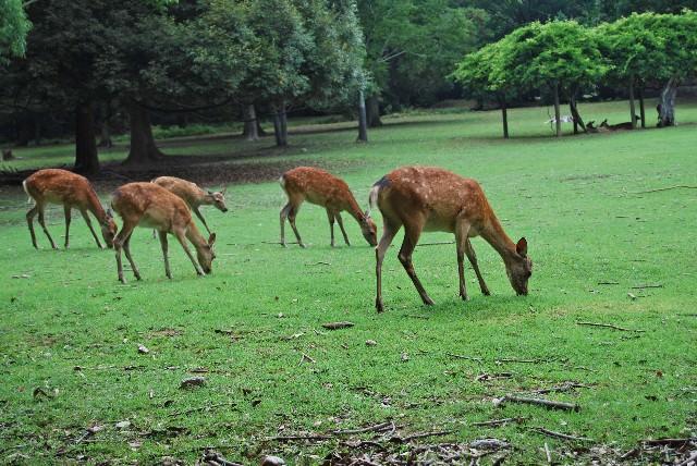 5. 親親可愛的小鹿「奈良公園」
