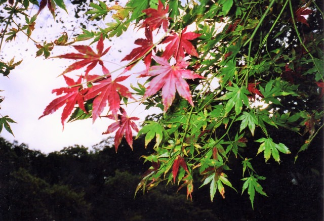 10. 被世界遺產的紅葉所包覆。其景色最為精彩「白神山地」