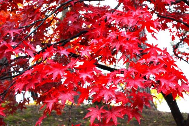 8. 人氣景點並不只有櫻花而已!觀賞雄大自然的賞楓「弘前公園・弘前城」