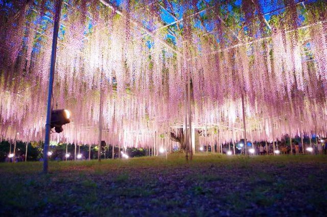 7. 色彩繽紛的花花世界!栃木縣值得驕傲的美艷旅遊景點!「足利花卉公園」