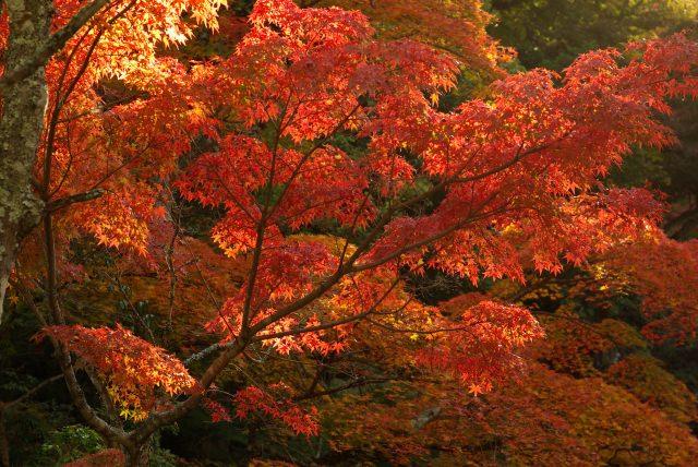 10. 染成紅色的楓葉橋也非常美!「宮島‧紅葉谷公園」