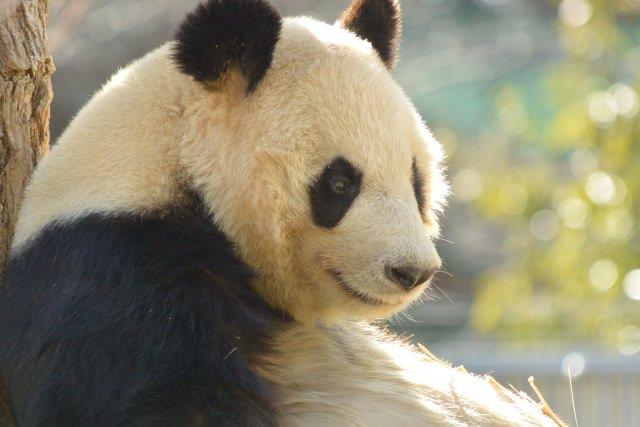 2. 說到在日本的熊貓就是這裡!「上野動物園」