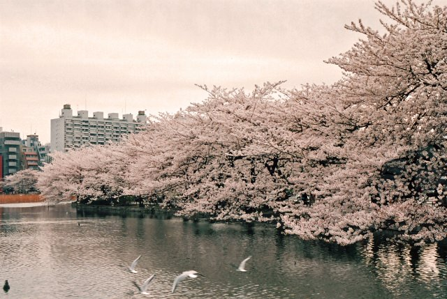 1. 賞櫻的基本景點!「上野恩賜公園」