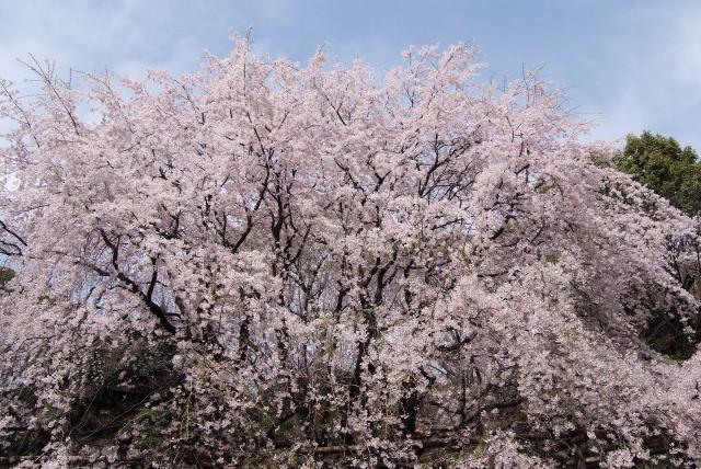 5. 想欣賞與其他景點不同的櫻花美景的話就來此!「六義園」