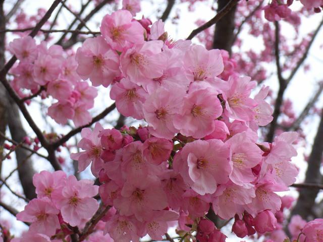 2. 想在沉著寧靜的氣氛中賞櫻。「新宿御苑」