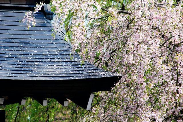 7. 在充滿風情的小鎮中欣賞櫻花「角館的武家屋敷」