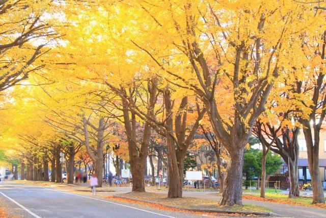 6. 在大學校園內享受金黃色的紅葉!「北海道大學 銀杏並木」